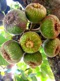 figaro Σύκα στον κλάδο του δέντρου στοκ φωτογραφίες με δικαίωμα ελεύθερης χρήσης
