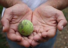 figfruithänder Arkivfoto