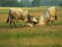 Fight. The fight of bulls is young on the meadow Stock Images