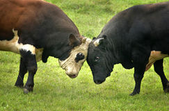 Fight. Two bulls fighting in field Royalty Free Stock Photo