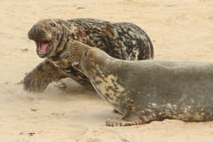A fight breaks out when a large bull Grey Seal Halichoerus grypus gets too close to a female with her newly born pup. A fight breaks out when a large bull Grey stock image