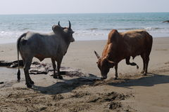 Fight of buffalo s. On the bank of the Indian Ocean in India royalty free stock photo