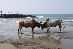 Fight of buffalo s. On the bank of the Indian Ocean in India royalty free stock photos