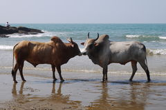 Fight of buffalo s. On the bank of the Indian Ocean in India royalty free stock image