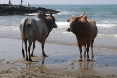 Fight of buffalo s. On the bank of the Indian Ocean in India stock image