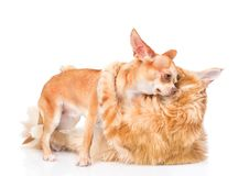 Fight cats and dogs. isolated on white background Royalty Free Stock Photos