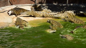 Fight of crocodiles in the river. A sunny day stock footage