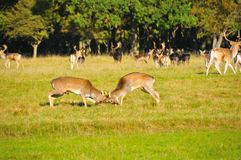 Fight for deer princess Royalty Free Stock Images