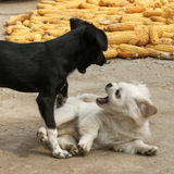 The fight between dogs. The picture captures the interesting fighting between two dogs Royalty Free Stock Photos