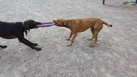 Fight of dogs for a ring. Fight of two strong and beautiful dogs for a ring in sunny day stock video