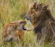 Fight in the family of lions. National Park. Kenya. Tanzania. Masai Mara. Serengeti. An excellent illustration stock photo