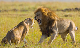 Fight in the family of lions. National Park. Kenya. Tanzania. Masai Mara. Serengeti. An excellent illustration stock photography