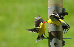 Fight at a feeder Royalty Free Stock Images