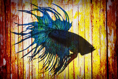 Fight fish on bamboo wall. Art wall stock photos