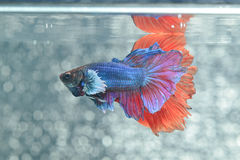 Fight fish. The Siamese fighting fish, also sometimes colloquially known as the betta (Betta splendens), is a species in the gourami family which is popular as royalty free stock images