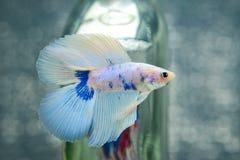 FIGHT FISH Stock Photo