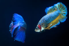 FIGHT FISH Royalty Free Stock Images