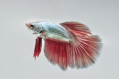 FIGHT FISH. The Siamese fighting fish, also sometimes colloquially known as the betta (Betta splendens), is a species of gourami which is extremely popular as an stock image