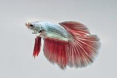FIGHT FISH Stock Image