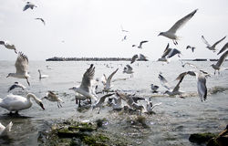 Fight for food. A overcrowded scene with swans and seagulls fighting for food in the black sea Royalty Free Stock Image