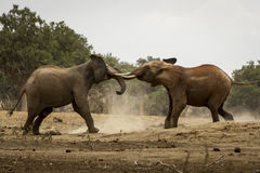 Fight Between Giants. Photo from a Safari in Tsavo East National Park, Kenya Royalty Free Stock Image