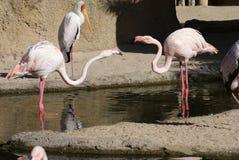 Fight of the Greater Flamingo - Phoenicopterus roseus Stock Photo