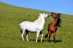 Fight of horses. A Beautiful mountain horses fight Stock Image