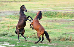 Fight of horses. On field royalty free stock images