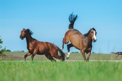 Fight horses. Two horses fight in the field. Horse beats back legs. Dangerous animal. Fight horses royalty free stock photo
