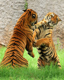 Fight of kings continues. Two tigers fighting for first place Stock Photos