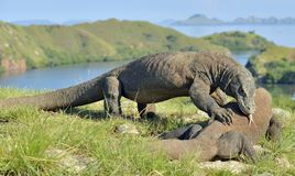 The Fight of Komodo dragons Stock Images