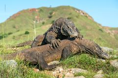 The Fight of Komodo dragons Royalty Free Stock Photo