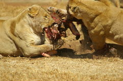Fight at lion feeding. Fight for food at lion feeding session in nature reserve South Africa Stock Image