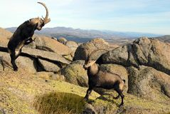 Fight in male mountain Gredos Royalty Free Stock Photography