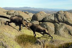 Fight in male mountain Gredos Stock Photo