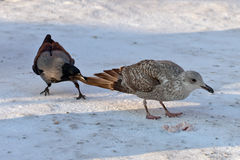 Fight for meal. Crow attacks a seagull in fight for meal royalty free stock images