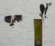 The fight for the place. Two Lapwings (Vanellus Vanellus) engage in a fight for the ownership of a resting place on a stake at a little dutch haven royalty free stock photo