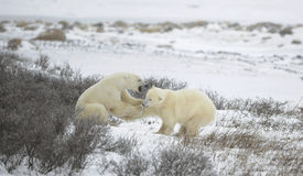 Fight of polar bears. 1 stock image