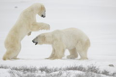 Fight of polar bears. 12. Fight of polar bears. Two polar bears fight. Snow tundra with undersized vegetation royalty free stock photography