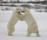 Fight of polar bears. 15 Royalty Free Stock Image