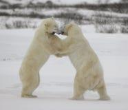 Fight of polar bears. 15. Fight of polar bears. Two polar bears fight. Tundra with undersized vegetation royalty free stock image