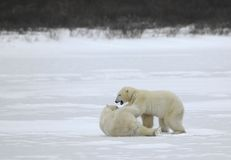 Fight of polar bears. royalty free stock image