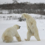 Fight of polar bears. 5 Stock Photos