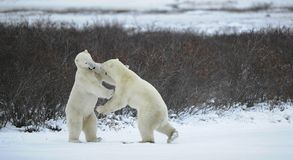 Fight of polar bears. Two polar bears fight. Tundra with undersized vegetation stock photos