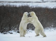 Fight of polar bears. Two polar bears fight. Tundra with undersized vegetation stock photo