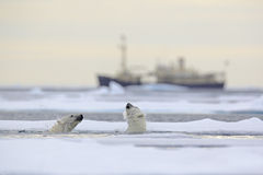 Fight of polar bears in water between drift ice with snow, blurred cruise chip in background, Svalbard, Norway. Europe Stock Photos