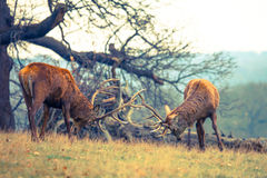 Fight of Red Deer Stags. In the park Royalty Free Stock Photography