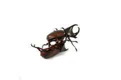 Fight Rhino beetle. Rhinoceros beetle, Rhino beetle, Hercules beetle, Unicorn beetle, Horn beetle on white background royalty free stock images