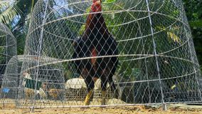 Fight Rooster in Cage stock video footage