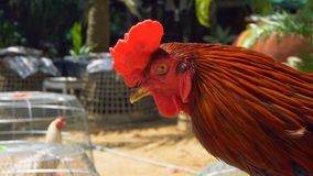 Fight Rooster Portrait stock video footage